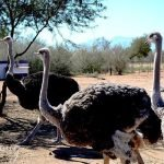 Safari Ostrich Farm with Cape Country Routes