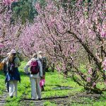 Elgin Blossom Weekend – Out & About